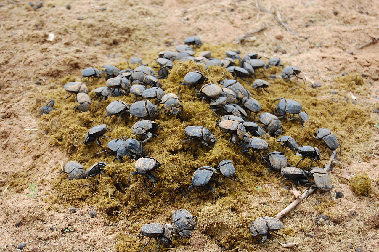Namibia Dung Beetle